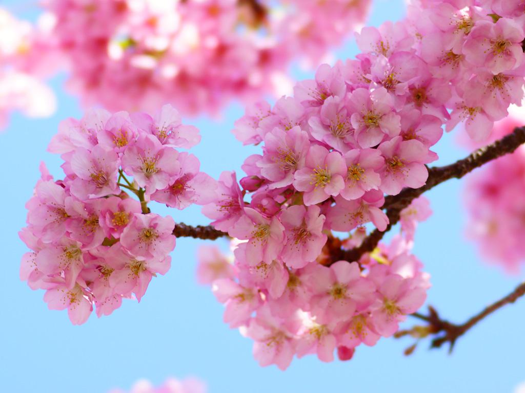 桜写真 お花見デリバリーはじめました